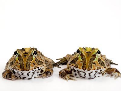 Juvenile Stolzmann's Horned Frogs, Ceratophrys Stolzmanni-Joel Sartore-Photographic Print