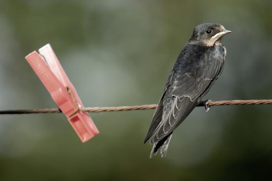 Juvenile Swallow (Hirundo Rustica) Perched on Clothes Line. Bradworthy, Devon, UK--Photographic Print