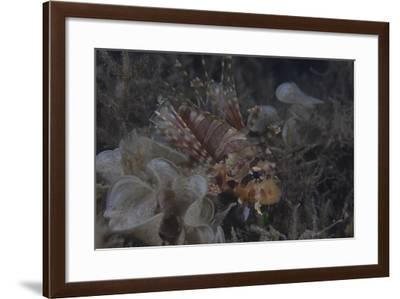 Juvenille Lionfish Hides in an Inshore Fijian Weed Bed-Stocktrek Images-Framed Photographic Print