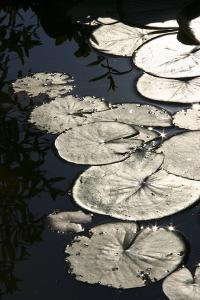 Lily Pads by K.B. White