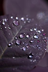 Purple Leaves II by K.B. White
