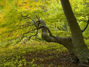 Denmark, Island Moen, Old Beech Tree in the Forest of Mon's Klint, Klinteskoven by K. Schlierbach