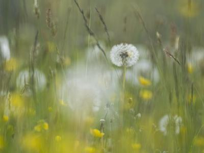 Germany, Dandelion in Flower Meadow