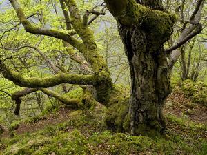 Germany, Kellerwald-Edersee, European Beech Forest on the Woogholle by K. Schlierbach