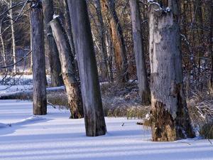 Germany, Muritz National Park, Autumn Beeches in Snow, Forest Serrahner by K. Schlierbach