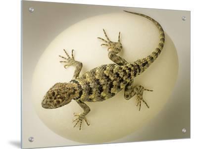 Desert Lizard Crawling on a Large White Egg