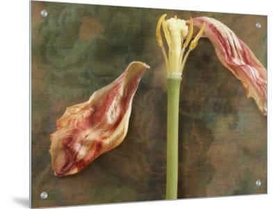 Wilted Tulip on Floral Design Silk Background