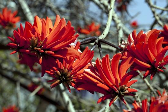 Kaffir Tree (Erythrina Kaffir) Flowers-Dirk Wiersma-Photographic Print