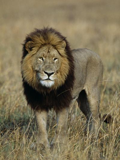 Kafue National Park, Mature Male Lion with Full Dark Mane on Busanga Plain, Zambia-John Warburton-lee-Photographic Print