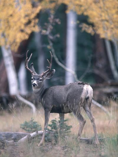 Kaibab Mule Deer Looks Startled While Searching for Food in the Woods-Jeff Foott-Photographic Print