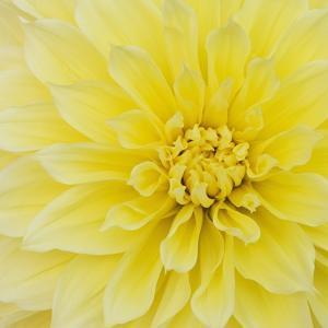 Dahlia Flower by Kaj Svensson
