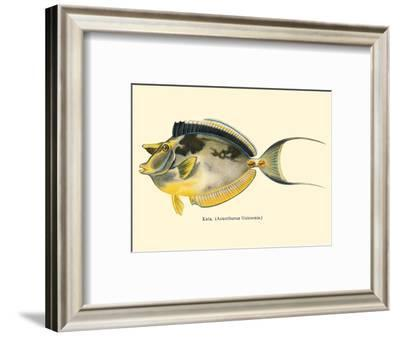 Kala (Acanthurus Unicornis) - Bluespined Unicorn Fish - from Fishes of Hawaii-Pacifica Island Art-Framed Art Print