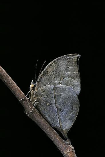 Kallima Inachus (Orange Oakleaf, Dead Leaf Butterfly)-Paul Starosta-Photographic Print