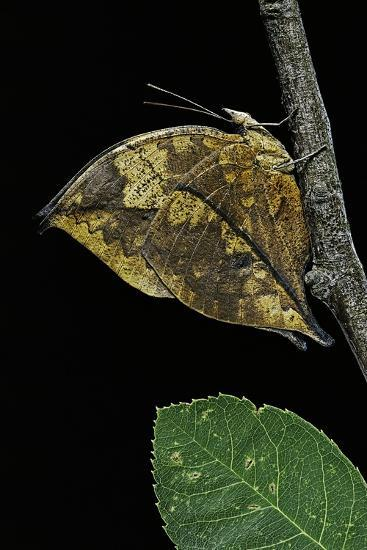 Kallima Paralekta (Indian Leafwing, Malayan Leafwing Butterfly)-Paul Starosta-Photographic Print