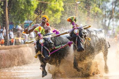 Kambala, Traditional Buffalo Racing, Kerala, India-Peter Adams-Photographic Print