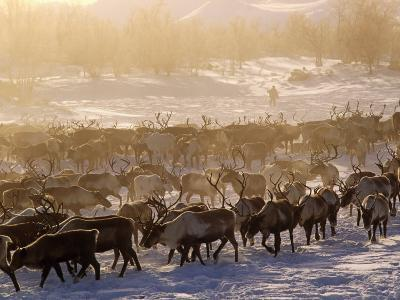 Kamchakta, Herding Reindeer across the Winter Tundra, Palana, Kamchatka, Russian Far East, Russia-Nick Laing-Photographic Print