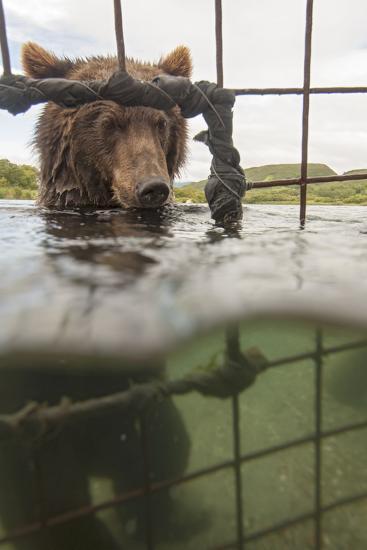 Kamchatka Brown Bear (Ursus Arctos Beringianus) In River, Taken From Protective Cage, Kamchatka-Sergey Gorshkov-Photographic Print
