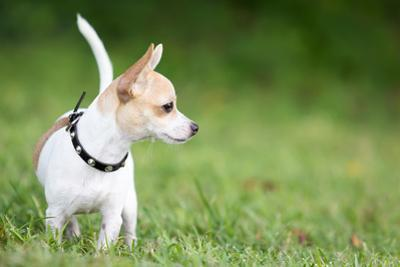 Small Chihuahua Dog Standing on a Green Grass Park with a Shallow Depth of Field by Kamira