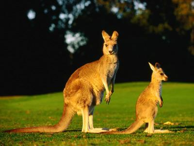 https://imgc.artprintimages.com/img/print/kangaroo-and-joey_u-l-pxti3e0.jpg?p=0
