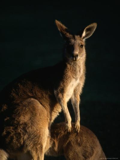 Kangaroo at Night, Anglesea, Australia-John Banagan-Photographic Print