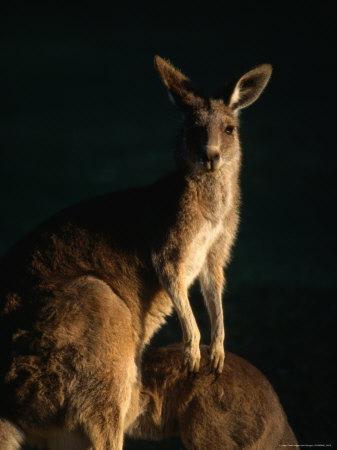 https://imgc.artprintimages.com/img/print/kangaroo-at-night-anglesea-australia_u-l-p5eajh0.jpg?p=0