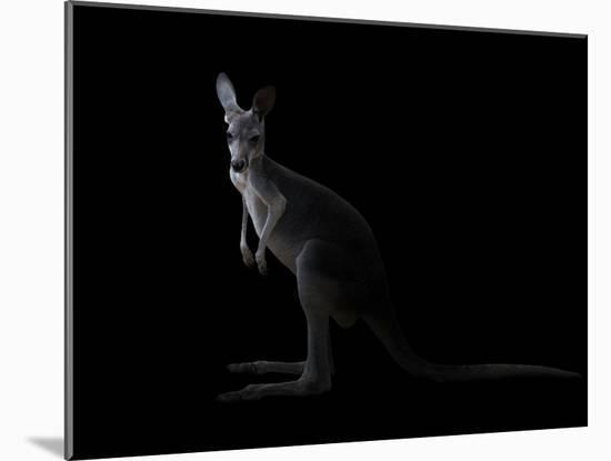 Kangaroo Standing in the Dark with Spotlight-Anan Kaewkhammul-Mounted Photographic Print