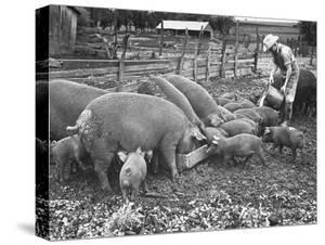 Kansas Farm Boy Dan Gardner Feeding a Mixture of His and His Father's Hogs Skim Milk