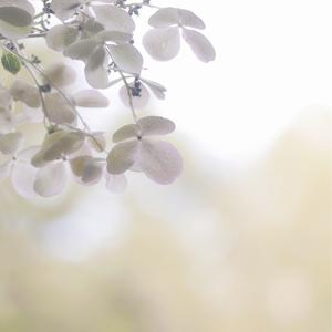 Hydrangea Paniculata by Kaori Yoshida