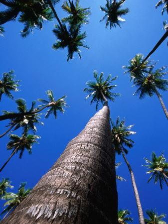 https://imgc.artprintimages.com/img/print/kapuaiwa-coconut-grove-kaunakakai-molokai-hawaii-usa_u-l-p3sd550.jpg?p=0