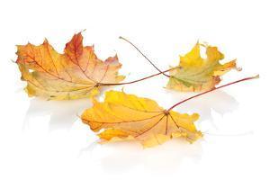 Colorful Autumn Maple Leaves. Isolated on White Background by karandaev