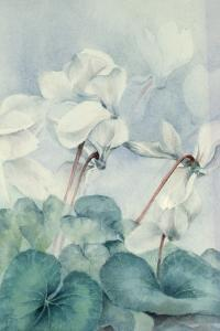 Cyclamen, Triumph White by Karen Armitage