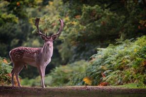 Fallow Deer (Dama Dama) in an Autumnal Forest, Bradgate, England, United Kingdom, Europe by Karen Deakin