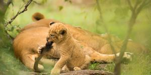 Lion cub biting mother's tail, Masai Mara, Kenya, East Africa, Africa by Karen Deakin