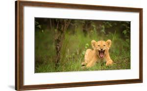 Lion cub roaring, Masai Mara, Kenya, East Africa, Africa by Karen Deakin