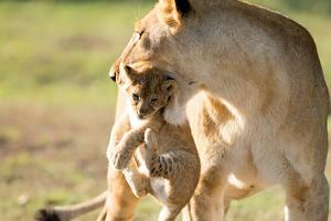 Lion with cub in mouth, Masai Mara, Kenya, East Africa, Africa by Karen Deakin