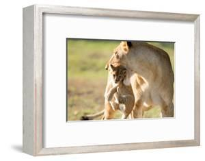 Lion with cub in mouth, Masai Mara, Kenya, East Africa, Africa by Karen Deakin