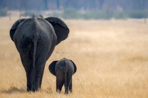 Little and Large, elephant calf and mother, Hwange National Park, Zimbabwe, Africa by Karen Deakin