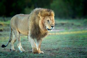 Male lion, Masai Mara, Kenya, East Africa, Africa by Karen Deakin