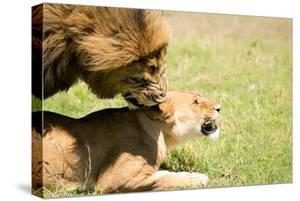 Mating Lions, Masai Mara, Kenya, East Africa, Africa by Karen Deakin