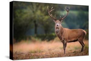 Red Deer (Cervus Elaphus) Stag During Rut in September, United Kingdom, Europe by Karen Deakin