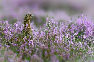 Red grouse in the heather, Scotland, United Kingdom, Europe by Karen Deakin