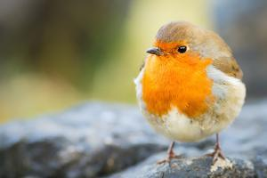 Robin, garden bird, Scotland, United Kingdom, Europe by Karen Deakin