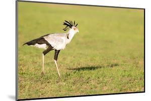 Secretary bird, Masai Mara, Kenya, East Africa, Africa by Karen Deakin