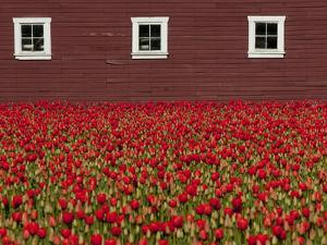 A Field of Red Tulips and a Barn in Spring by Karen Kasmauski