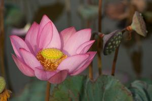 A Lotus Flower Blooming in the Danang Area of Vietnam by Karen Kasmauski