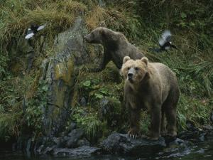 A Pair of Grizzly Bears Spook Some Birds at Waters Edge by Karen Kasmauski