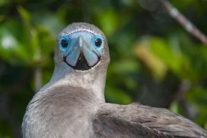 A Red Footed Booby on Genovesa Island in the Galapagos by Karen Kasmauski