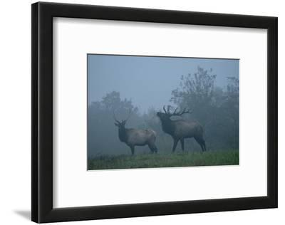 Elk in Morning Fog at Tennessee Wildlife Resources Agency, North Cumberland