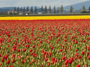 Fields of Red and Yellow Tulips in Spring, North of Seattle by Karen Kasmauski