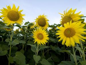 Sunflowers on Cape Breton Island by Karen Kasmauski